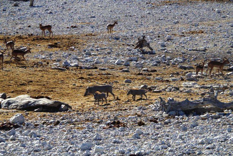 ナミビアの旅(37) エトーシャ国立公園のサファリドライブ(1)_c0011649_1105184.jpg