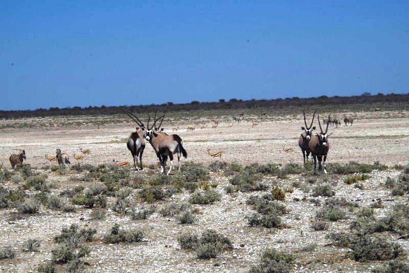 ナミビアの旅(37) エトーシャ国立公園のサファリドライブ(1)_c0011649_334212.jpg