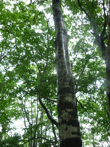 只見のブナの森散策と雪の恵みについての話 新国勇さんからお聞きしたこと_f0227395_1641357.jpg