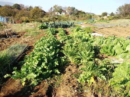 ミカン終了....冬野菜の収穫です。_b0137932_1345845.jpg