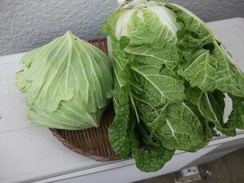 ミカン終了....冬野菜の収穫です。_b0137932_13472696.jpg
