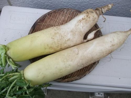 ミカン終了....冬野菜の収穫です。_b0137932_13483878.jpg