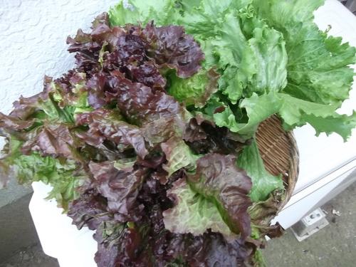 ミカン終了....冬野菜の収穫です。_b0137932_13485749.jpg