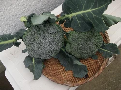 ミカン終了....冬野菜の収穫です。_b0137932_1348581.jpg