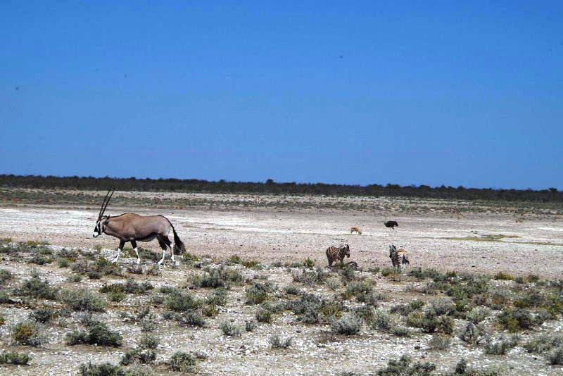 ナミビアの旅(37) エトーシャ国立公園のサファリドライブ(1)_c0011649_6553043.jpg