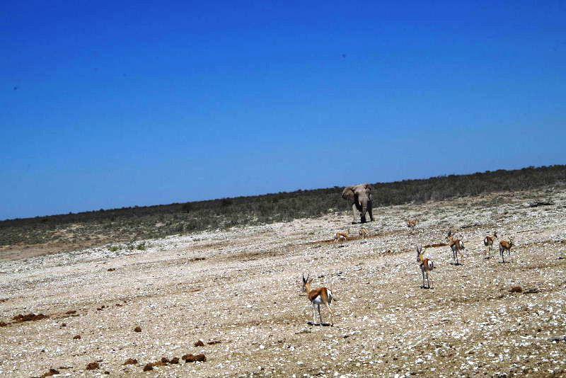 ナミビアの旅(38) エトーシャ国立公園のサファリドライブ(2)_c0011649_7323032.jpg