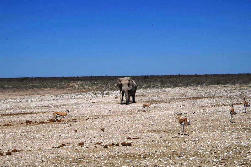 ナミビアの旅(38) エトーシャ国立公園のサファリドライブ(2)_c0011649_7324932.jpg