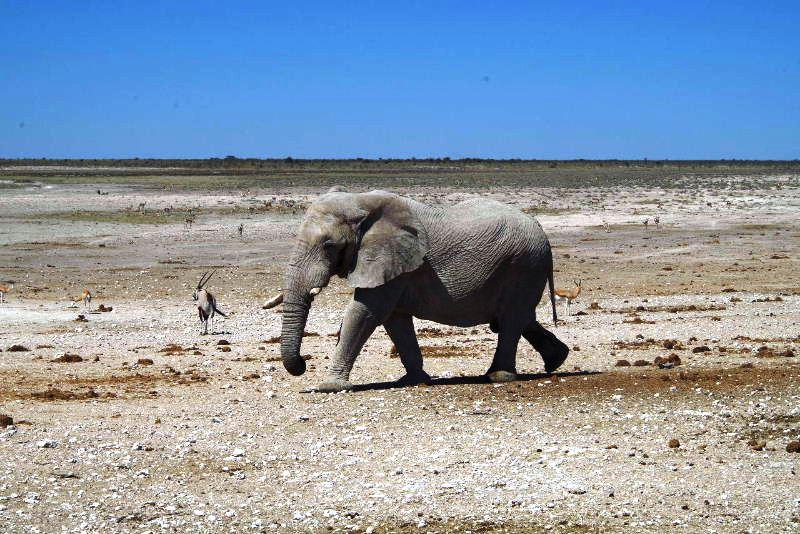 ナミビアの旅(38) エトーシャ国立公園のサファリドライブ(2)_c0011649_7373042.jpg