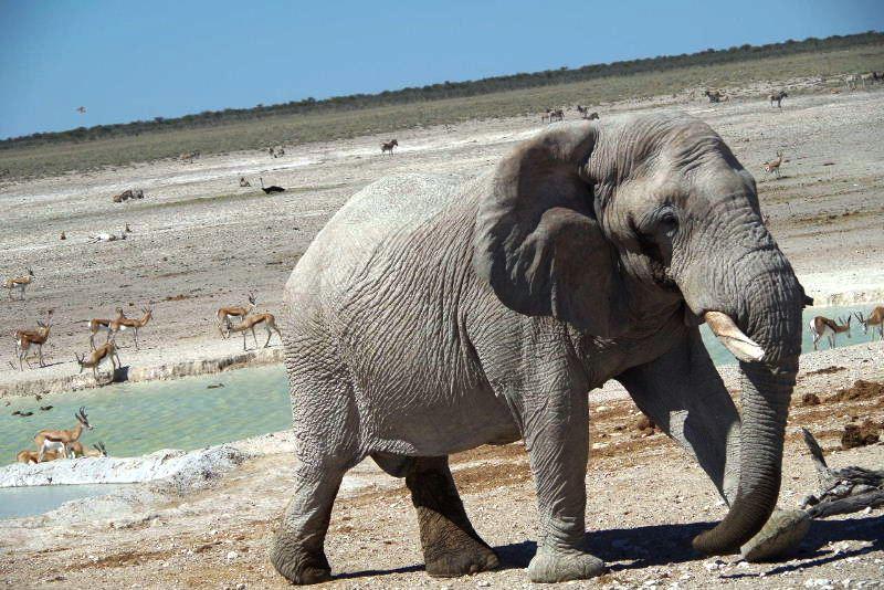 ナミビアの旅(38) エトーシャ国立公園のサファリドライブ(2)_c0011649_8254268.jpg