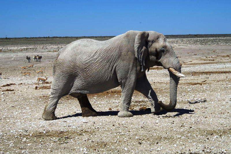 ナミビアの旅(38) エトーシャ国立公園のサファリドライブ(2)_c0011649_8262584.jpg