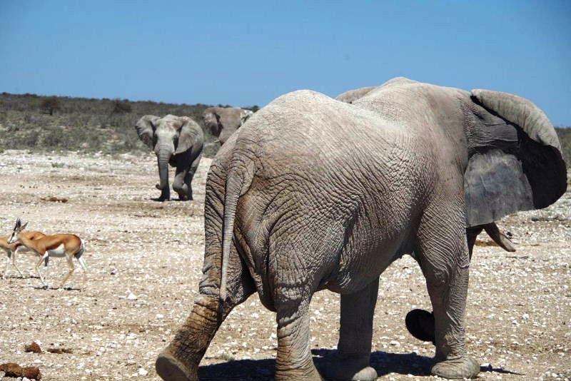 ナミビアの旅(38) エトーシャ国立公園のサファリドライブ(2)_c0011649_8264641.jpg