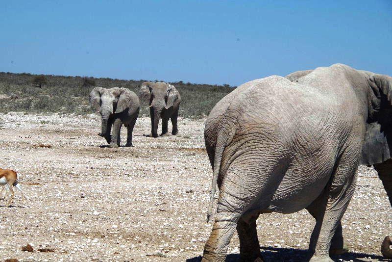 ナミビアの旅(38) エトーシャ国立公園のサファリドライブ(2)_c0011649_8313359.jpg