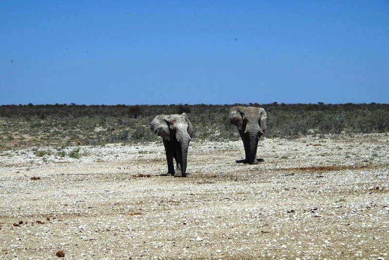 ナミビアの旅(38) エトーシャ国立公園のサファリドライブ(2)_c0011649_832313.jpg