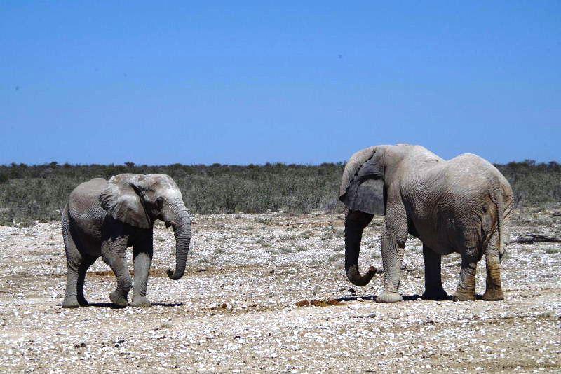ナミビアの旅(38) エトーシャ国立公園のサファリドライブ(2)_c0011649_8325423.jpg