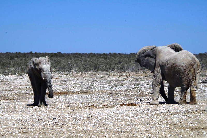 ナミビアの旅(38) エトーシャ国立公園のサファリドライブ(2)_c0011649_833294.jpg