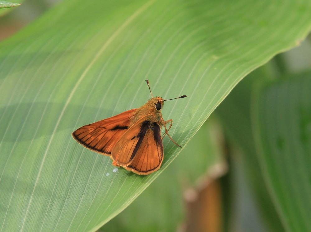 コキマダラセセリ ♀雌には逢えず。  2013.7.11北海道35_a0146869_2248317.jpg