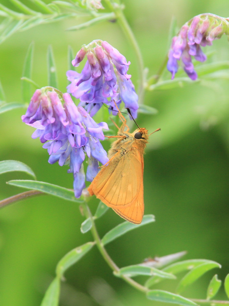 コキマダラセセリ ♀雌には逢えず。  2013.7.11北海道35_a0146869_22483727.jpg