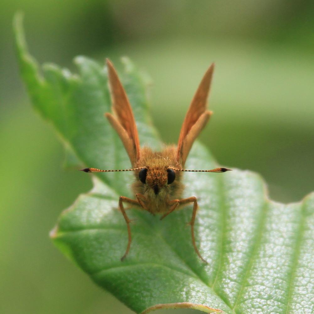 コキマダラセセリ ♀雌には逢えず。  2013.7.11北海道35_a0146869_22515777.jpg