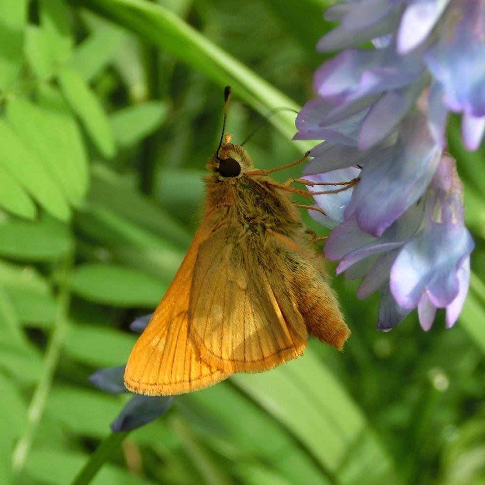 コキマダラセセリ ♀雌には逢えず。  2013.7.11北海道35_a0146869_22534352.jpg