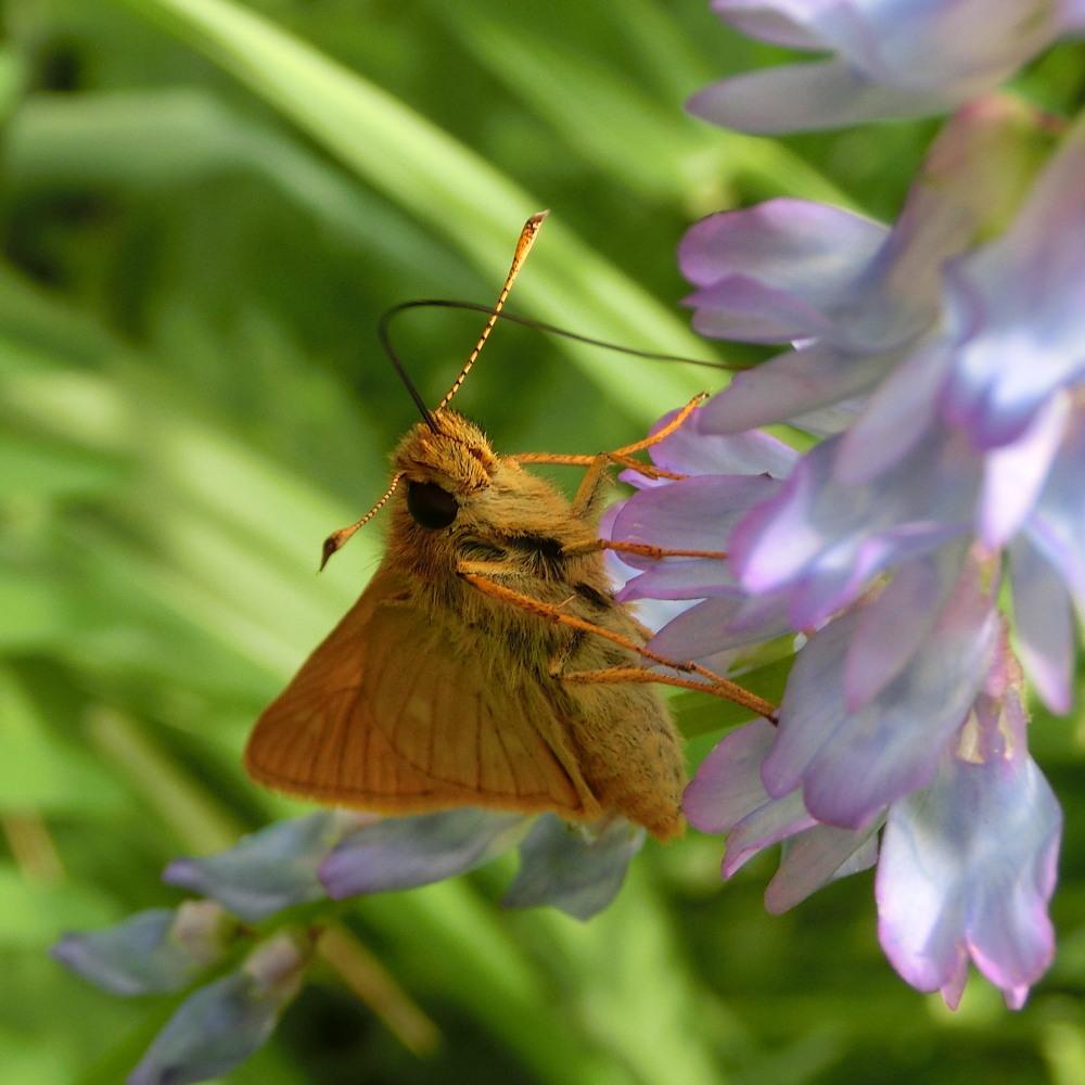コキマダラセセリ ♀雌には逢えず。  2013.7.11北海道35_a0146869_2253487.jpg