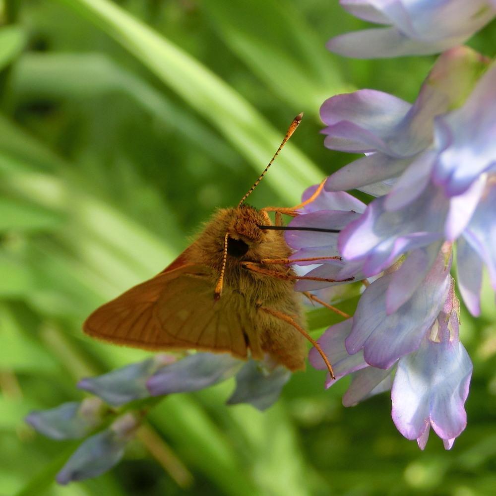 コキマダラセセリ ♀雌には逢えず。  2013.7.11北海道35_a0146869_22535735.jpg
