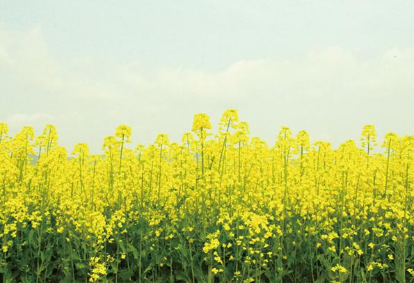 大春の里のうきはで生まれる菜種油_f0120395_1854237.jpg