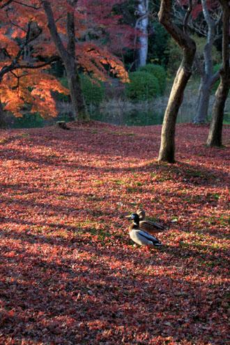 植物園 散りモミジ 13紅葉だより70_e0048413_2022404.jpg