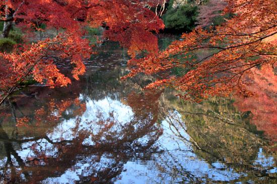 植物園 散りモミジ 13紅葉だより70_e0048413_2022453.jpg