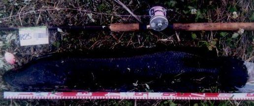 2013 スネークヘッドフォトダービー エントリーフィッシュの中から_a0153216_14145353.jpg