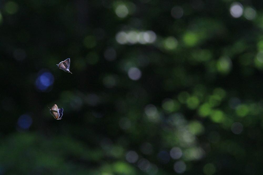 アイノミドリシジミ  メスアカミドリシジミと同じ仲間。 2013.7.14-15北海道37_a0146869_5524233.jpg