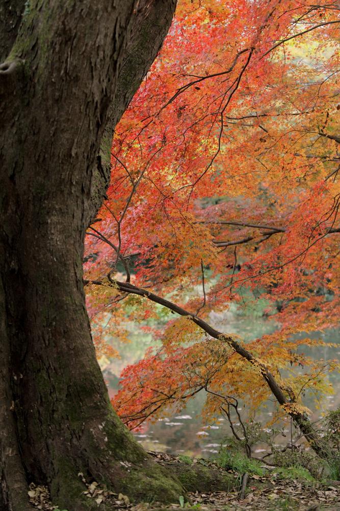 紅葉 2013 <京都府立植物園>        _f0021869_20343375.jpg