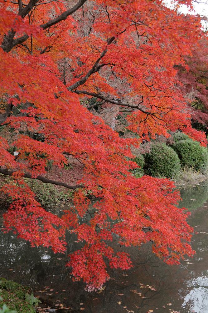 紅葉 2013 <京都府立植物園>        _f0021869_20375244.jpg