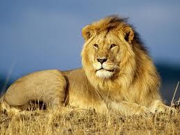 準決勝第一試合:瀕死のライオンにシベリアタイガーと戦う力は残っていなかった!_e0171614_16384440.jpg