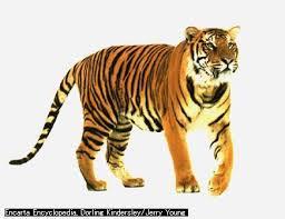準決勝第一試合:瀕死のライオンにシベリアタイガーと戦う力は残っていなかった!_e0171614_16591067.jpg