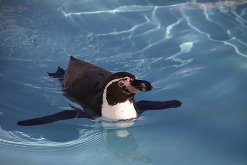 ペンギンのお散歩~釧路動物園 12月10日_f0113639_17582190.jpg