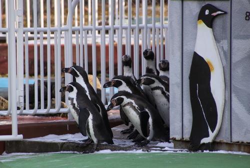 ペンギンのお散歩~釧路動物園 12月10日_f0113639_18115158.jpg