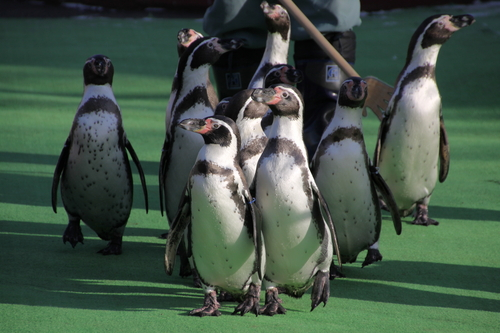 ペンギンのお散歩~釧路動物園 12月10日_f0113639_18124445.jpg