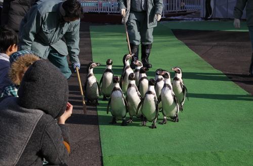 ペンギンのお散歩~釧路動物園 12月10日_f0113639_18135121.jpg