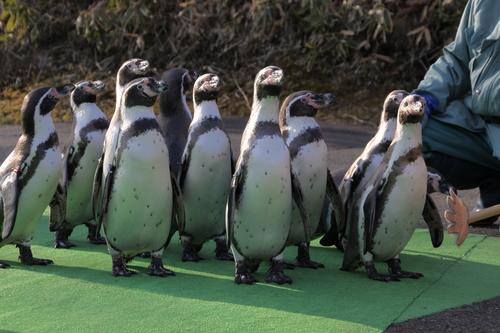 ペンギンのお散歩~釧路動物園 12月10日_f0113639_18152453.jpg