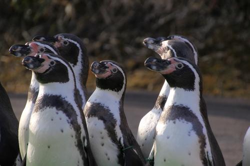 ペンギンのお散歩~釧路動物園 12月10日_f0113639_1816338.jpg