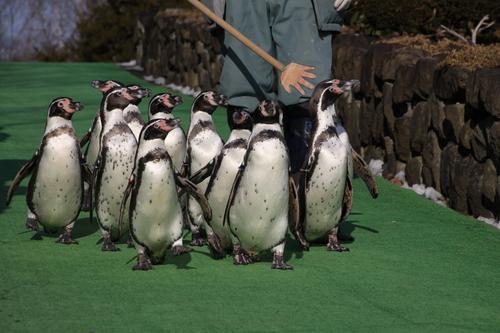 ペンギンのお散歩~釧路動物園 12月10日_f0113639_18173185.jpg