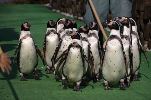 ペンギンのお散歩~釧路動物園 12月10日_f0113639_18183737.jpg