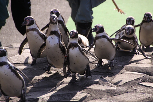 ペンギンのお散歩~釧路動物園 12月10日_f0113639_18271362.jpg