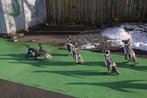 ペンギンのお散歩~釧路動物園 12月10日_f0113639_18284696.jpg
