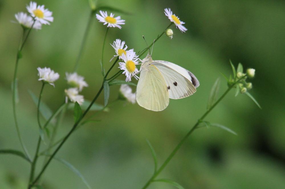 オオモンシロチョウ  ♂雄一匹を追跡。 2013.7.15北海道38_a0146869_5525872.jpg