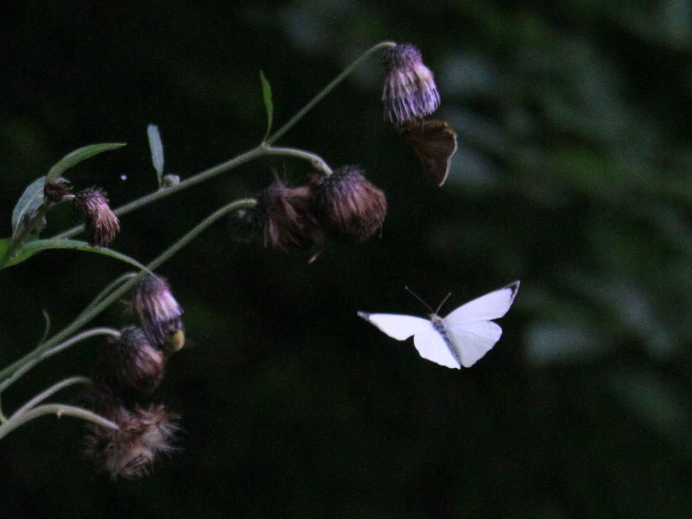 オオモンシロチョウ  ♂雄一匹を追跡。 2013.7.15北海道38_a0146869_5591750.jpg