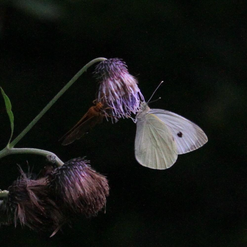 オオモンシロチョウ  ♂雄一匹を追跡。 2013.7.15北海道38_a0146869_5593241.jpg