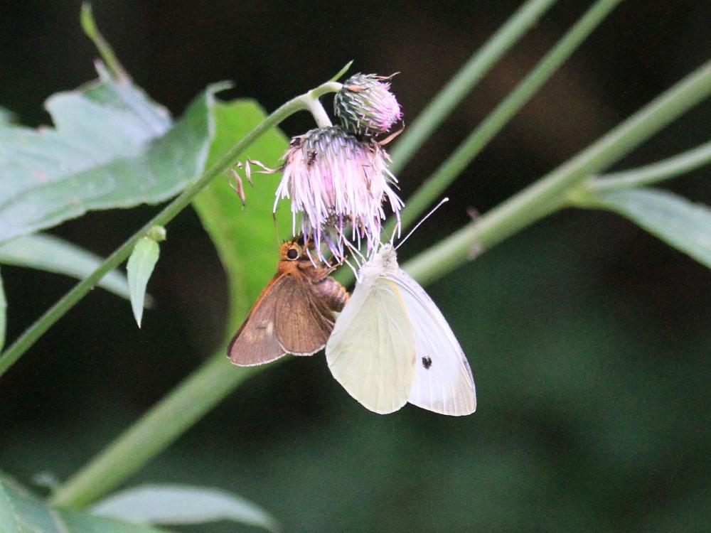 オオモンシロチョウ  ♂雄一匹を追跡。 2013.7.15北海道38_a0146869_621917.jpg