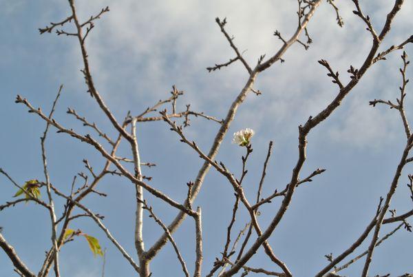 桜の花、狂い咲き_e0089232_08312233.jpg