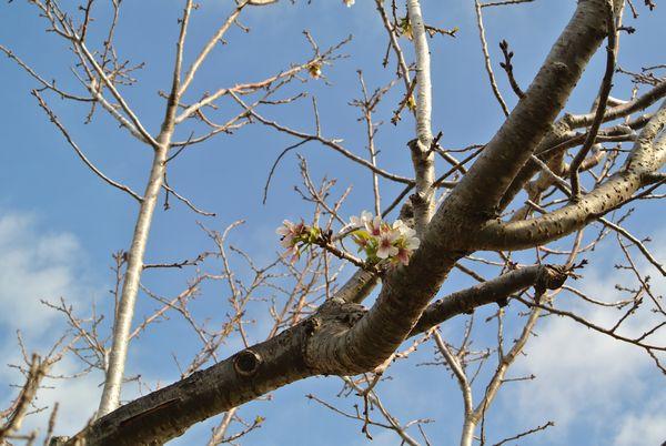 桜の花、狂い咲き_e0089232_08312682.jpg